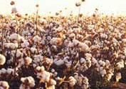 coton_plante.jpg